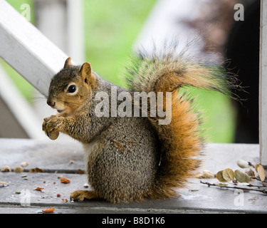 A pregnant female fox tree squirrel eats peanuts - Stock Photo