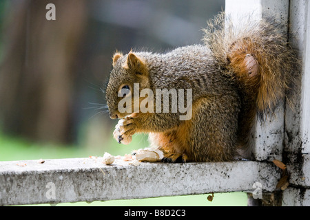 A male fox tree squirrel eats peanuts on a porch rail in California - Stock Photo