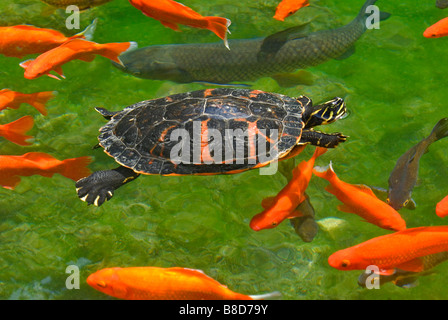 Red Belly, Red-Bellied Turtle swimming in pond with Aka Muji variety of Koi fish, Colorado. (Neither are native - Stock Photo
