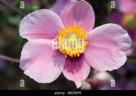 Japanese thimbleweed, Japanese Windflower, Japanese Anemone, Japanese Thimbleflower, Anemone hupehensis hort. September - Stock Photo