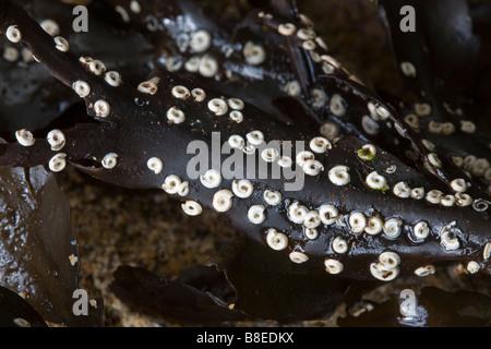 tubeworm spirorbis spirorbis on kelp cornwall - Stock Photo