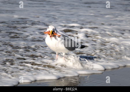 A seagull attempts to swallow a starfish. - Stock Photo