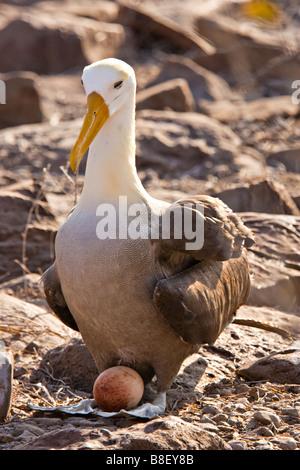 Waved Albatross (Diomedea irrorata) standing on nest with egg, Espanola (Hood) Island, Galapagos Ecuador South America - Stock Photo