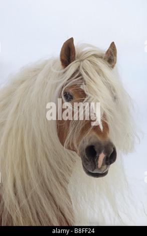 Haflinger Horse (Equus ferus caballus), stallion with extreme long mane - Stock Photo