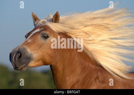 Haflinger Horse (Equus ferus caballus), stallion with long flowing mane - Stock Photo