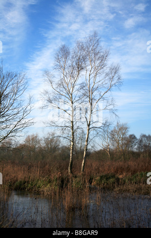 Birch trees growing in a small area of marsh on the Norfolk Broads. - Stock Photo