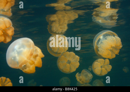 Jelly fishes and their reflections at the water surface in the famous Jellyfish Lake on Rock Isalnds in Palau - Stock Photo