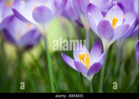 Crocus vernus 'Queen of the blues' spring flowers - Stock Photo