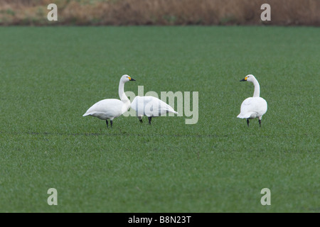 Bewick's Swan Cygnus columbianus bewickii a group of three adults feeding on a field of winter wheat - Stock Photo