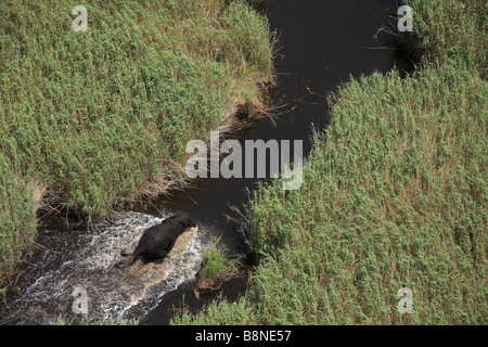 Aerial view of a lone elephant bull running up a channel lined by Phragmites reeds - Stock Photo