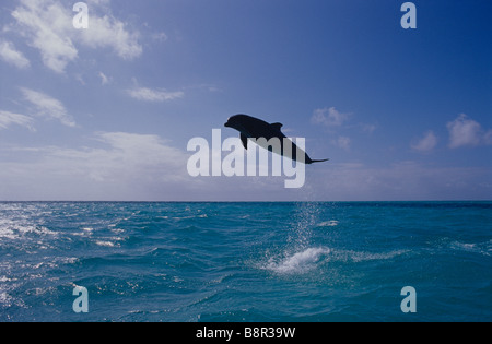 BOTTLENOSE DOLPHIN, GRAND BAHAMA, CARIBBEAN SEA - Stock Photo