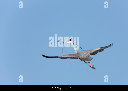 Grey Heron Ardea cinerea in Flight  Verulamium Park St Albans - Stock Photo