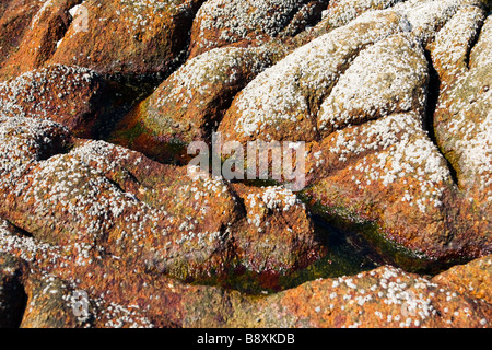Big brown rock covered with tine shells on the beach closeup. - Stock Photo