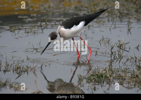 Juvenile Black-winged Stilt Himantopus himantopus feeding in a temporary pool in Rajasthan India - Stock Photo
