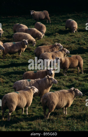 England East Sussex South Downs Agriculture Farming Sheep grazing on grass in field - Stock Photo