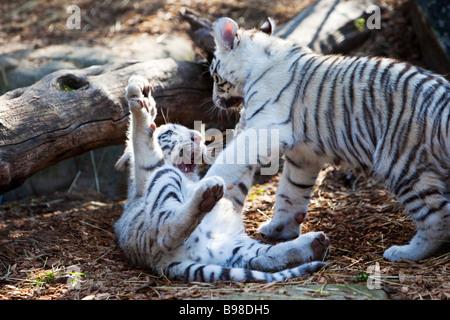 Young White Tiger Cubs Playing, Panthera Tigris - Stock Photo
