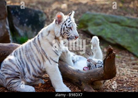 White Tiger Cubs Panthera Tigris - Stock Photo