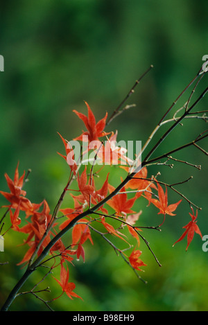 Autumnal leaves of Japanese Maple - Stock Photo