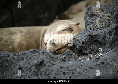 Galapagos Sea Lion, Zalophus wollebaeki , San Cristobal Island, Galapagos Islands, Ecuador, South America - Stock Photo