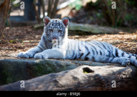 White Tiger Cub Panthera Tigris - Stock Photo