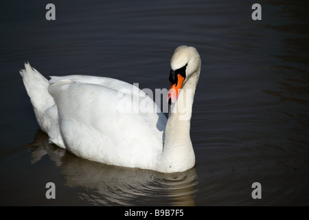 Close up of a mute swan on a lake in England - Stock Photo