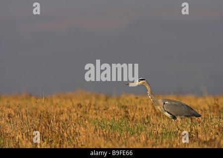 Grey heron (Ardea cinerea) in cornfield - Stock Photo