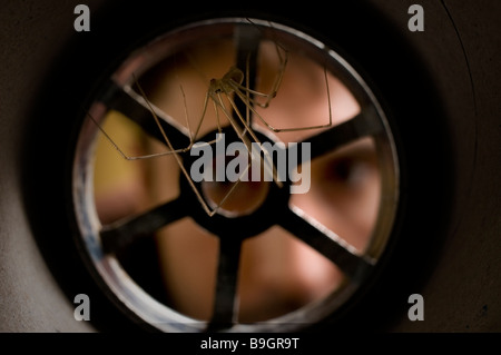 DADDY LONG LEGS SPIDER Pholcus phalangiodes Pholcidae in plughole - Stock Photo