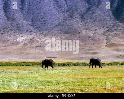 African Bush Elephants (Loxodonta africana), Ngorongoro Conservation Area, Tanzania, East Africa - Stock Photo