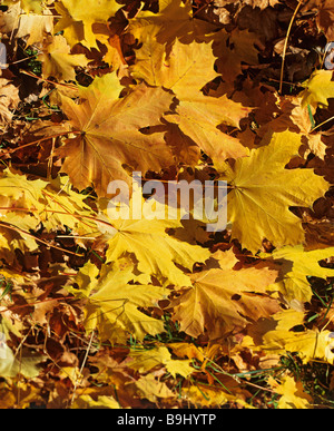 Maple tree (Acer), ahorn leaves in autumn - Stock Photo