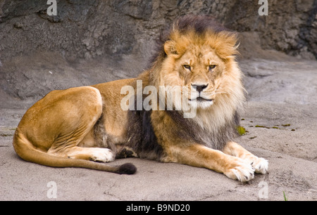 A male lion sitting and watching - Stock Photo
