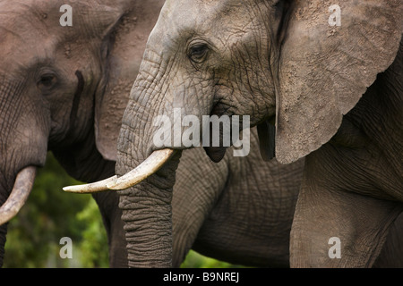 portrait of two African elephants in the bush, Kruger National Park, South Africa - Stock Photo