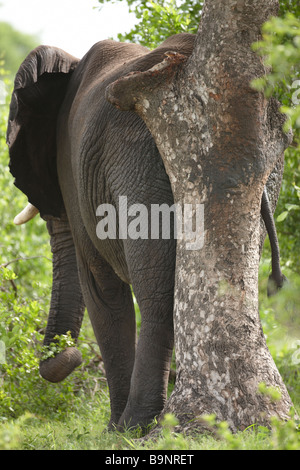African elephant rubbing his backside on a tree, Kruger National Park, South Africa - Stock Photo