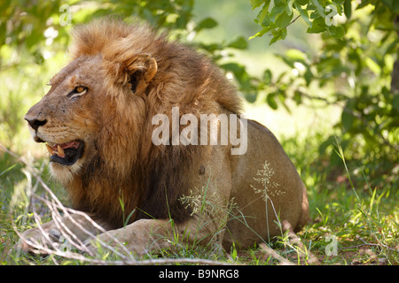 a male lion resting in the bush, Kruger National Park, South Africa - Stock Photo