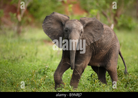 playful lone baby elephant in the bush, Kruger National Park, South Africa - Stock Photo