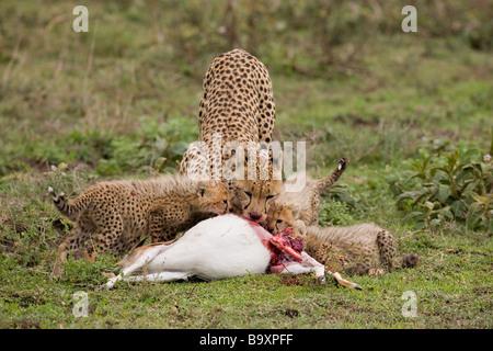 Mother cheetah and cubs Acinonyx jubatus feeding on Thomson Gazelle kill Ndutu Reserve Tanzania - Stock Photo