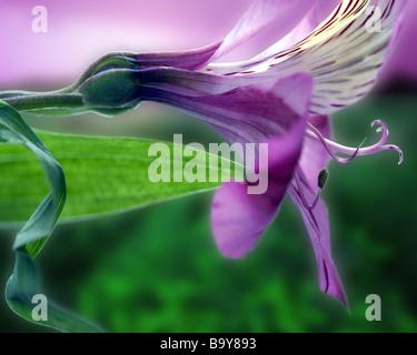 PHOTO ART: Peruvian Lily (Alstroemeria) - Stock Photo