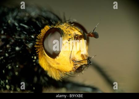 Parasitic Fly, Giant Tachinid (Tachina grossa), close-up of head - Stock Photo