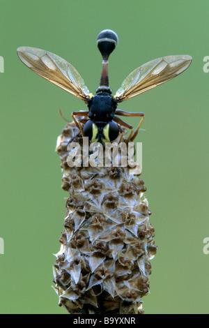 Thick-headed Fly (Physocephala nigra) on a seed head - Stock Photo