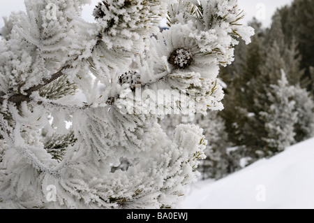 Close up of hoarfrost and snow covered pine tree with cones on Signal Mountain Grand Teton National Park Wyoming - Stock Photo