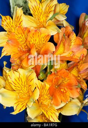 Alstroemeria Peruvian Lily - Stock Photo