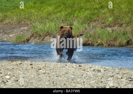 A Brown Bear Charges through the water at Mikfik Creek during Summer in Southwest Alaska. - Stock Photo