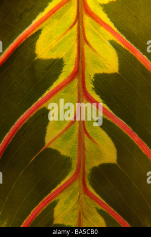 Close-up of Marantaceae (prayer plant) leaf - Stock Photo