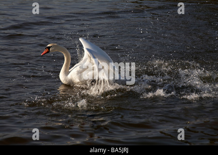 Mute swan, Cygnus olor, flapping wings on frozen lake in Poole Park, Dorset in January - Stock Photo