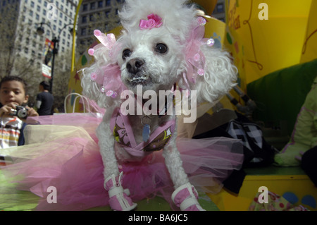 Hec Lin a toy poodle dressed as a ballerina with pink bows in her hair at the annual Macy s Petacular in Herald - Stock Photo