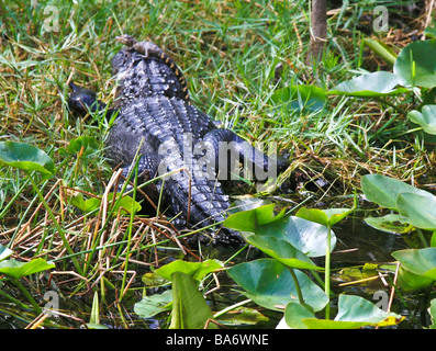 American Alligator with young Baby on head in the Florid Everglades - Stock Photo