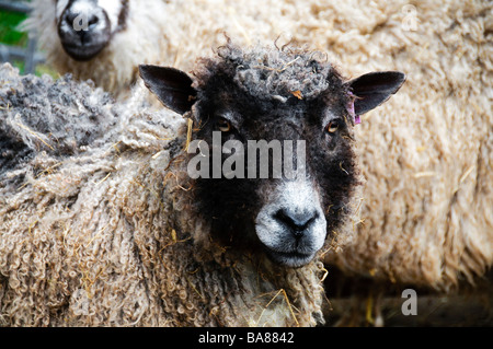 A cross breed Wensleydale sheep at West End Farm, near Morphet - Stock Photo
