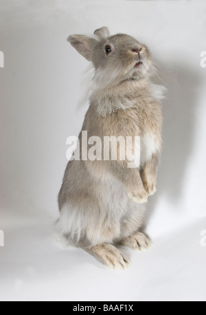 portrait young lionhead cross grey rabbit - Stock Photo