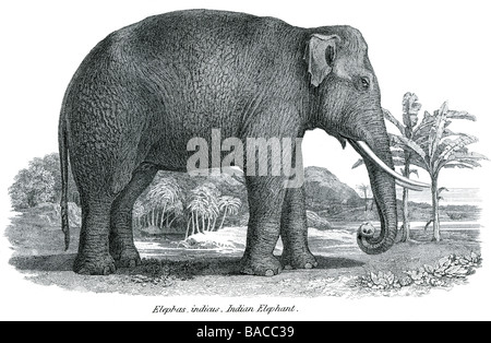proboscidea elephas indicus indian elephant Elephantidae African Bush Forest Asian - Stock Photo