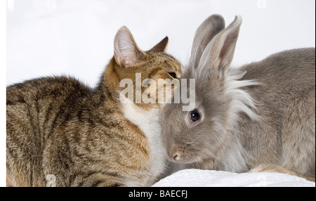 portrait of young grey cross lionhead rabbit and tabby cat playing - Stock Photo