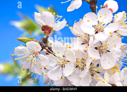 Flowers of apricot on a blue background - Stock Photo